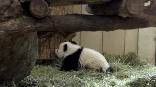 Download Panda Twins 5 months old Video