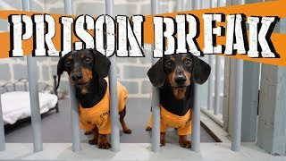 Download Ep 8: WIENER DOG PRISON BREAK - Funny Dogs Escaping Jail! Video