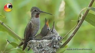 Download Perjuangan Burung Kolibri Video