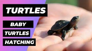 Download Tortugas Bebé Obtienen Ayuda Al Nacer 🔴 Baby turtles get a helping hand 🐢 Diamondback Terrapins Video