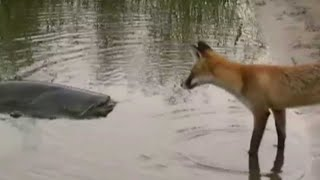 Download CATFISH VS FOX by CATFISHING WORLD Video