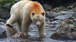 Download Spirit bear / Kermode bear catching and eating salmon Video