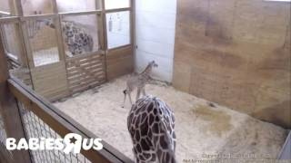 Download Brand New Giraffe Family ♥ Video