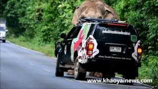 Download park rangers controlling an elephant on the road Video