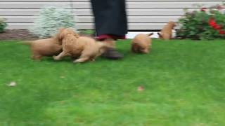 Download Mini Goldendoodle Puppies For Sale Amos Fisher Video