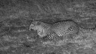 Download Djuma: Hosana male leopard quietly sneaks in from right side - 19:22 - 07/15/18 Video