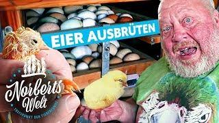 Download ES LEBT! | GEBURT vor unseren Augen! | So brütet man Eier zu Küken | NORBERTS WELT | Zoo Zajac Video