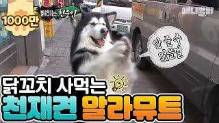 Download 닭꼬치 사먹는 천재견 말라뮤트 Video
