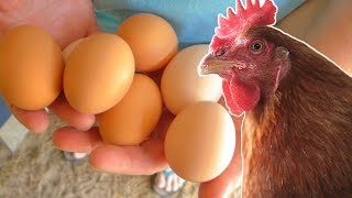 Download What to feed your chickens so they lay eggs year round. Video