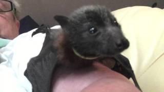 Download Baby bat, Octopus needs a straitjacket Video