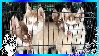 Download SIBERIAN HUSKY PUPPIES | So many Puppies | HELP US HELP HUSKIES Video