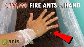 Download FIRE ANTS VS. MY HAND Video