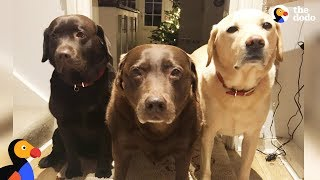 Download Senior Dog's Whole Family Helps Cart Her Around - REMY | The Dodo Video