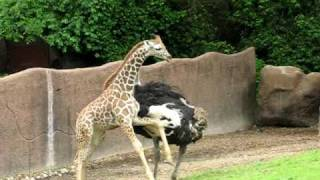 Download An ostrich and baby giraffe play tag Video