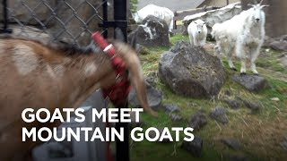 Download Tiny Goats Visit Mountain Goats Video