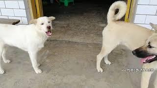 Download 两狗狗吃李子,灰灰李子掉了想要抢食,小白:门都没有 Video