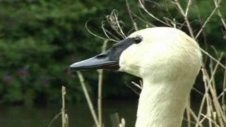 Download Trumpeter Swan Trumpeting and Honking Video & Sounds : Trumpet of The Swan Video