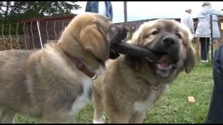 Download Von Wölfen und Lämmern - das Herdenschutzhundzentrum Reetzerhütten Video