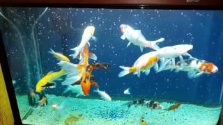 Download Joel vera peces koi en acuario Video