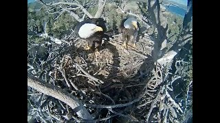 Download Big Bear Eagle Cam ~ Stormy Squees Heard Below Nest 4.26.18 Video