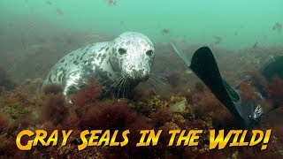 Download Gray Seals In The Wild   JONATHAN BIRD'S BLUE WORLD Video