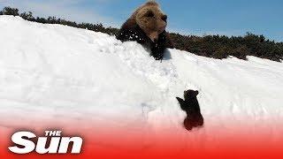 Download Bear cub climbs mountain to reunite with mama bear Video