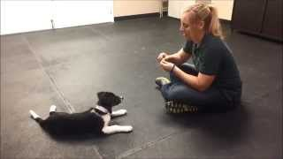 Download Training A Border Collie Puppy Video