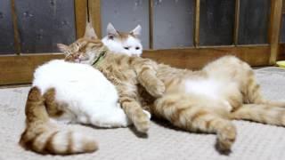 Download しろまくら Cat pillow 2017#3 170430 Video