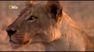 Download War for territory . Lions and petulants / Nat Geo Wild 2018 HD Video