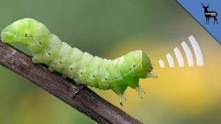 Download This Squeaking Caterpillar is ADORABLE Video