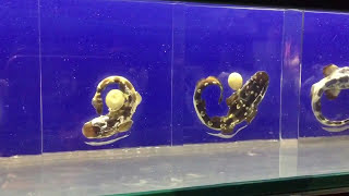 Download Lifecycle of a marine Bamboo Shark Video