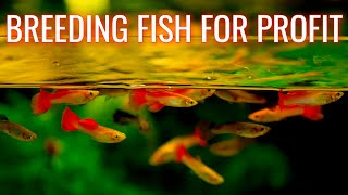 Download Breeding Fish for Profit Aquarium 🐠 Selling Guppies, Bushynose Plecos, Cherry Shrimp for Money Video