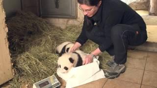 Download Panda Twins Weighing Video