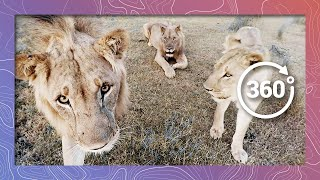 Download Lions in 360 4K Nuzzle And Play like Cats (Wildlife and Nature 2018) Video