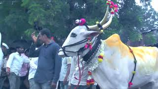 Download Bail pola beed Video