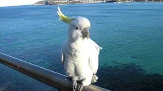 Download Talking to a Sulphur-Crested Cockatoo Video