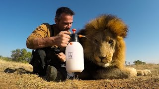 Download Lion Treats!!! The Everything Spray | The Lion Whisperer Video