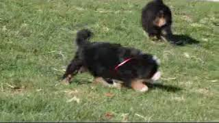Download Bernese Mountain Dog Puppies For Sale Chris Stoltzfus Video