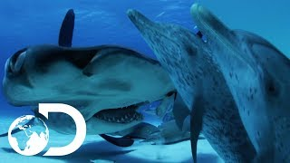 Download Can A Dolphin Outsmart A Shark? | Sharks VS Dolphins: Face Off | SHARK WEEK 2018 Video