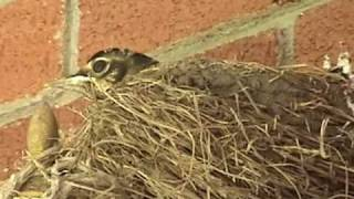 Download Baby Robins Leave the Nest!! Video