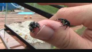 Download Jumping Spiders Part 2, with Bob, the spider hunter Video