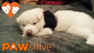Download Siberian Husky Pup Scheduled for Euthanasia for Being Born Like This Video