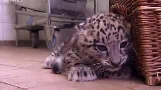 Download schneeleopard trifft javaleoparden Video