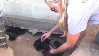 Download DHDR Newborn Doberman Puppy Rescue Video