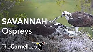 Download Savannah Ospreys Fixed Cam Video