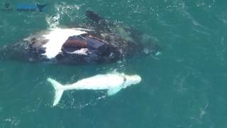 Download A Rare White Southern Right Whale Calf Has Been Filmed For The First Time Video