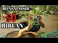 Download BONSAI SISIR HARGA 50 RIBUAN Video