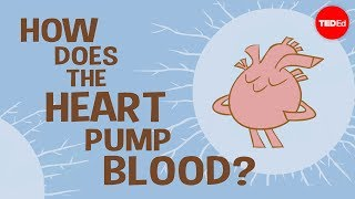 Download How the heart actually pumps blood - Edmond Hui Video