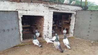 Download Pakistan pigeons Ch Mubashar Ali Azad kashmir Video