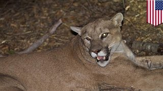 Download Rancher gets permit to shoot mountain lion that killed 12 farm animals for fun - TomoNews Video